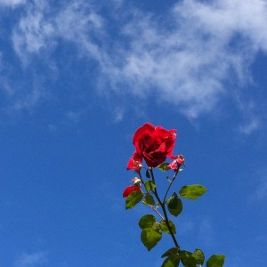red rose reaching for the sky