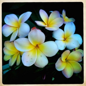 frangipani in bloom