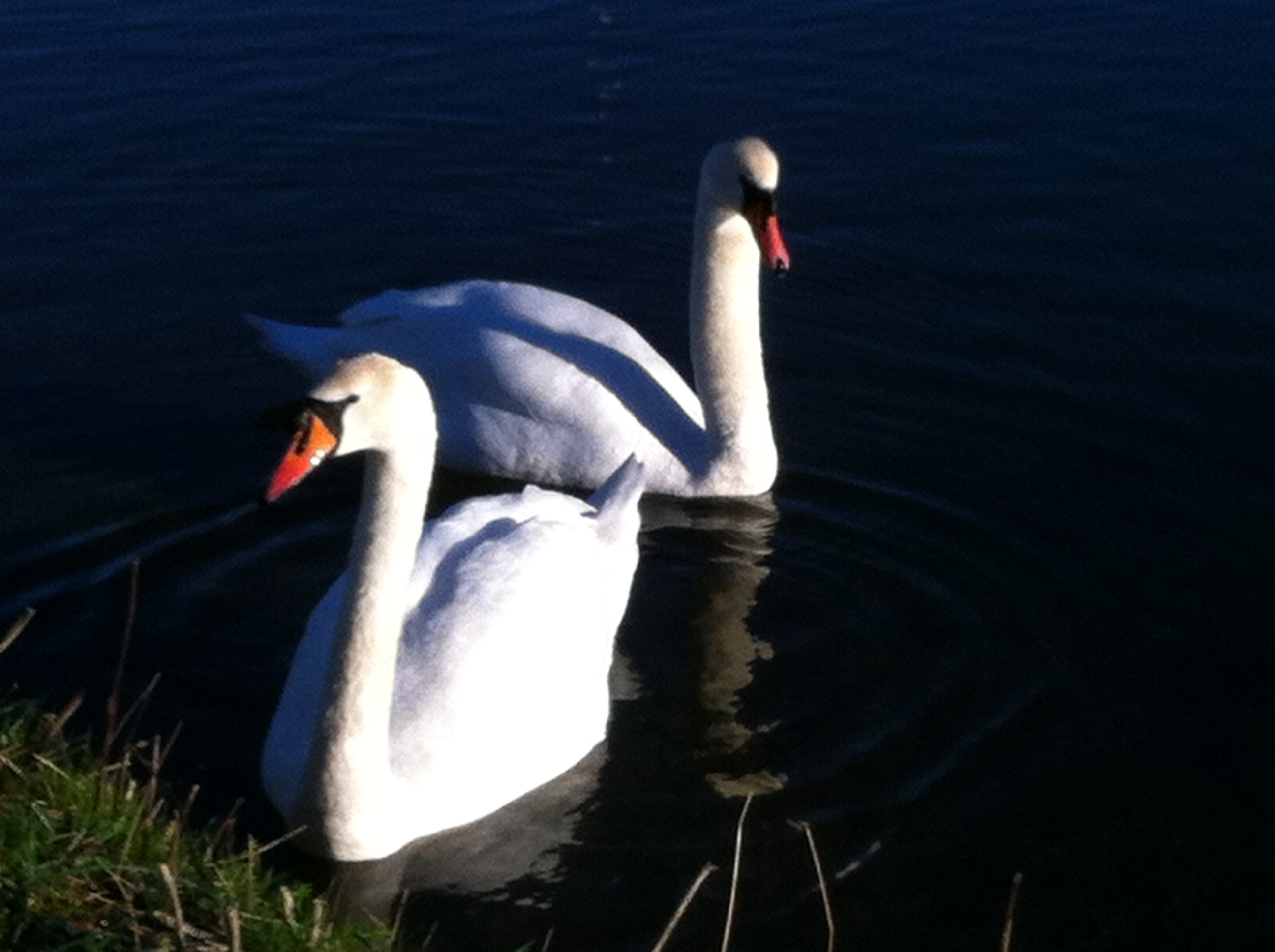 swan friends.JPG