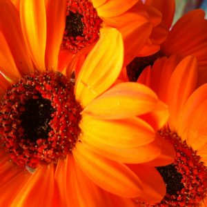 bright happy gerberas